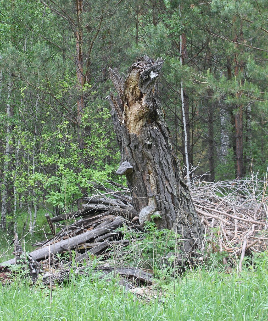Экзотические деревья Караканского леса  - потенциальные герои сказок Караканского леса