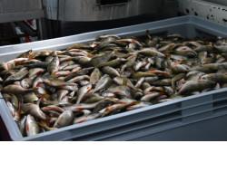 Рыбоводы региона в 2020 году планируют выловить более полутора тысяч тонн выращенной рыбы